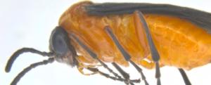 Mustard Sawfly, S.Name: Athalia lugens