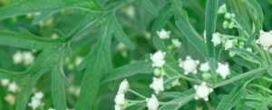 Effects of Parthenium hysterophorus (Carrot grass) weed