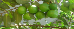 Cultivation of guava