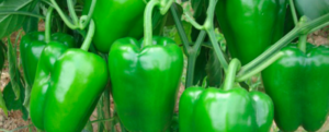 Scientific cultivation of capsicum