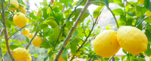 Lemon Tree: Care Tips