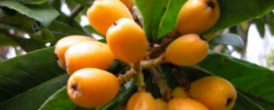 Japanese loquat: Care instructions