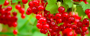 Garden: berries and other berries to grow at home