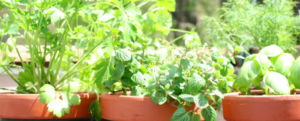 4 tips for growing edible plants