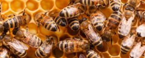 5 myths about bees
