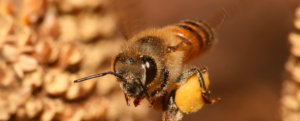 Pollinator decline threatens global agriculture – Bee