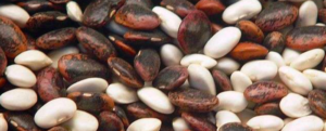 The domestication of the bean
