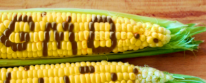 What is a GMO: Genetically Modified Organism?