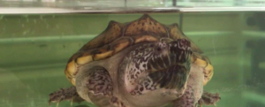 TURTLE: a new species discovered in MEXICO