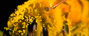 How to save POLLINATING INSECTS from extinction?