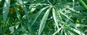 Hemp: a fiber full of future