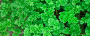 Parsley, its secrets, its origins, and how to take care of it.