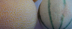 The MELON, tips to learn how to cultivate it well.