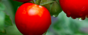 Which varieties for a vegetable garden in the North?