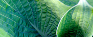 Focus on a plant: the hosta.