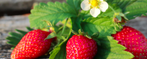 Strawberry cultivation for Dummies – and others.