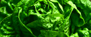 Cultivating organic lettuce all year round indoors or outdoors is possible?
