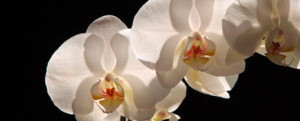 How to keep your orchids alive and make them bloom again