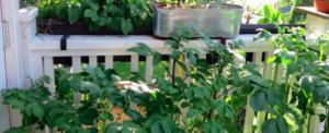 My first balcony kitchen garden