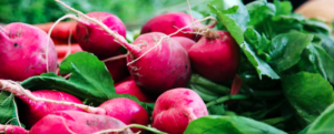 Winter Radishes – Delight to our plates