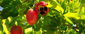 All about Ackee, a little-known fruit