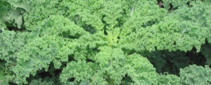 "All about ""Kale"", this superfood"