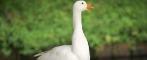 "All about ""Goose"""