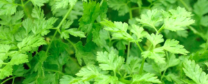 "All about ""Chervil / French Parsley"""
