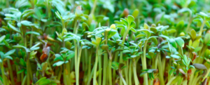 "All about ""Watercress / Cress"""