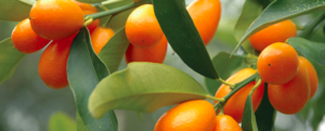 "All about ""Kumquat"", the smallest citrus fruit"