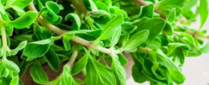 "All about ""Marjoram"" close to ""Oregano"""