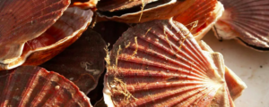"""All about """"Scallop"""""""