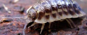 Woodlice – Entomology