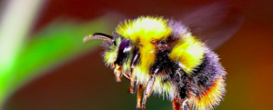 Bumblebees – Bombus